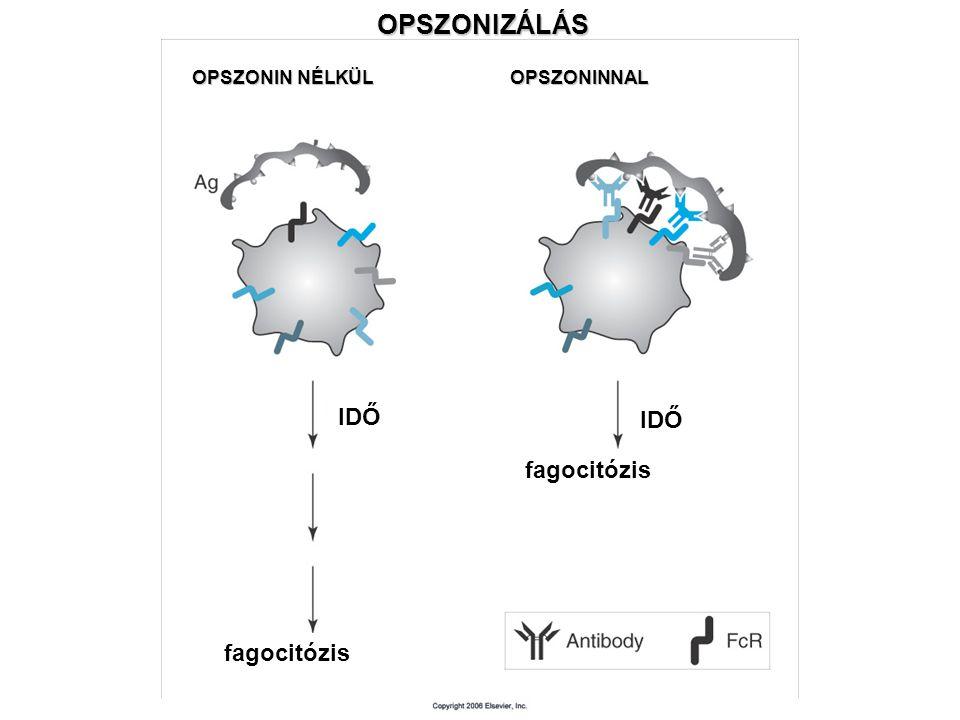 OPSZONIZÁLÁS OPSZONIN NÉLKÜL OPSZONINNAL IDŐ fagocitózis