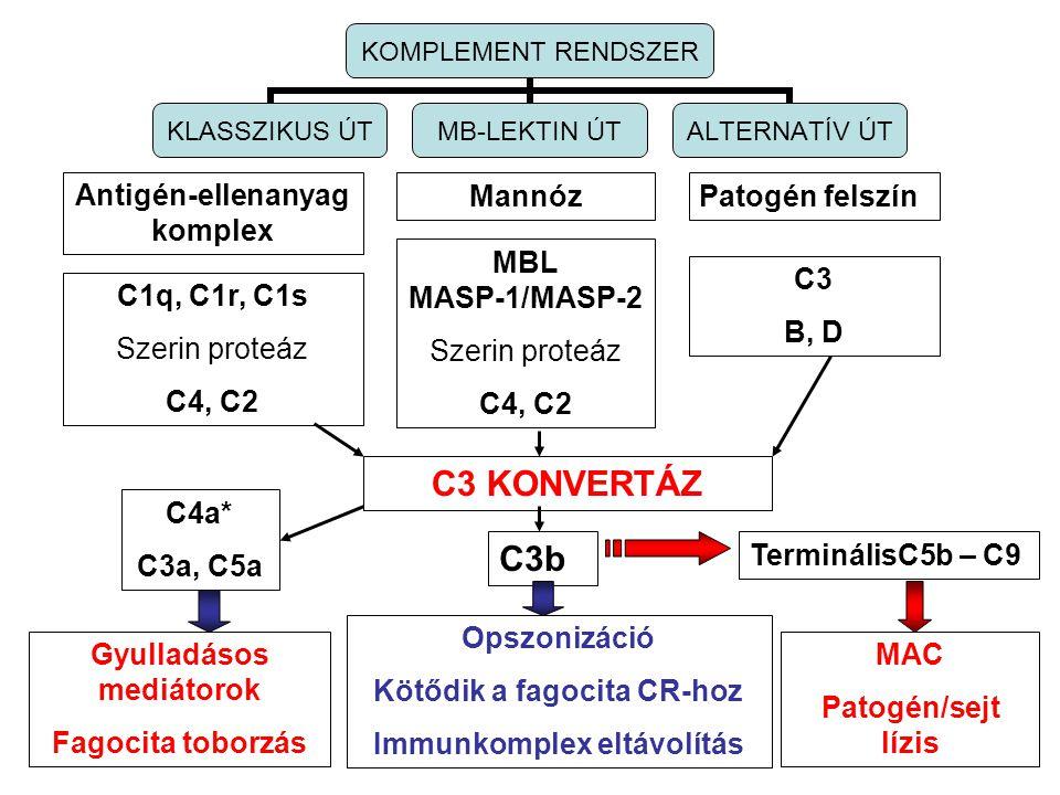 Antigén-ellenanyag komplex MannózPatogén felszín C1q, C1r, C1s Szerin proteáz C4, C2 MBL MASP-1/MASP-2 Szerin proteáz C4, C2 C3 B, D C3 KONVERTÁZ KOMP