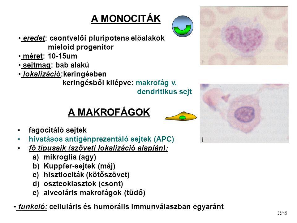 A MONOCITÁK eredet: csontvelői pluripotens előalakok mieloid progenitor méret: 10-15um sejtmag: bab alakú lokalizáció:keringésben keringésből kilépve: makrofág v.