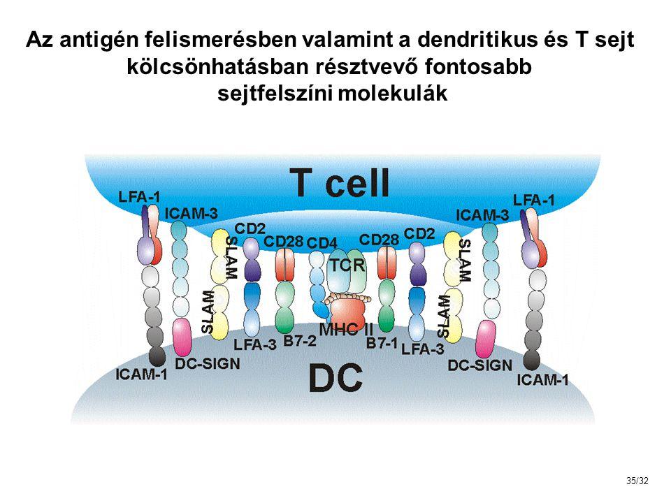 Az antigén felismerésben valamint a dendritikus és T sejt kölcsönhatásban résztvevő fontosabb sejtfelszíni molekulák 35/32