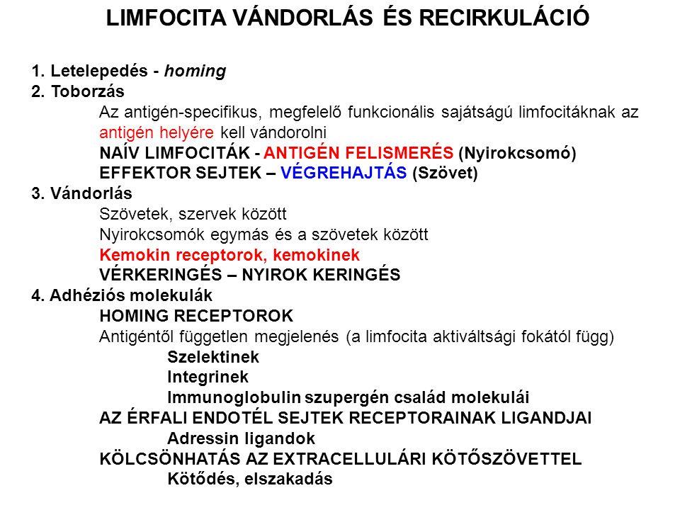 LIMFOCITA VÁNDORLÁS ÉS RECIRKULÁCIÓ 1. Letelepedés - homing 2. Toborzás Az antigén-specifikus, megfelelő funkcionális sajátságú limfocitáknak az antig
