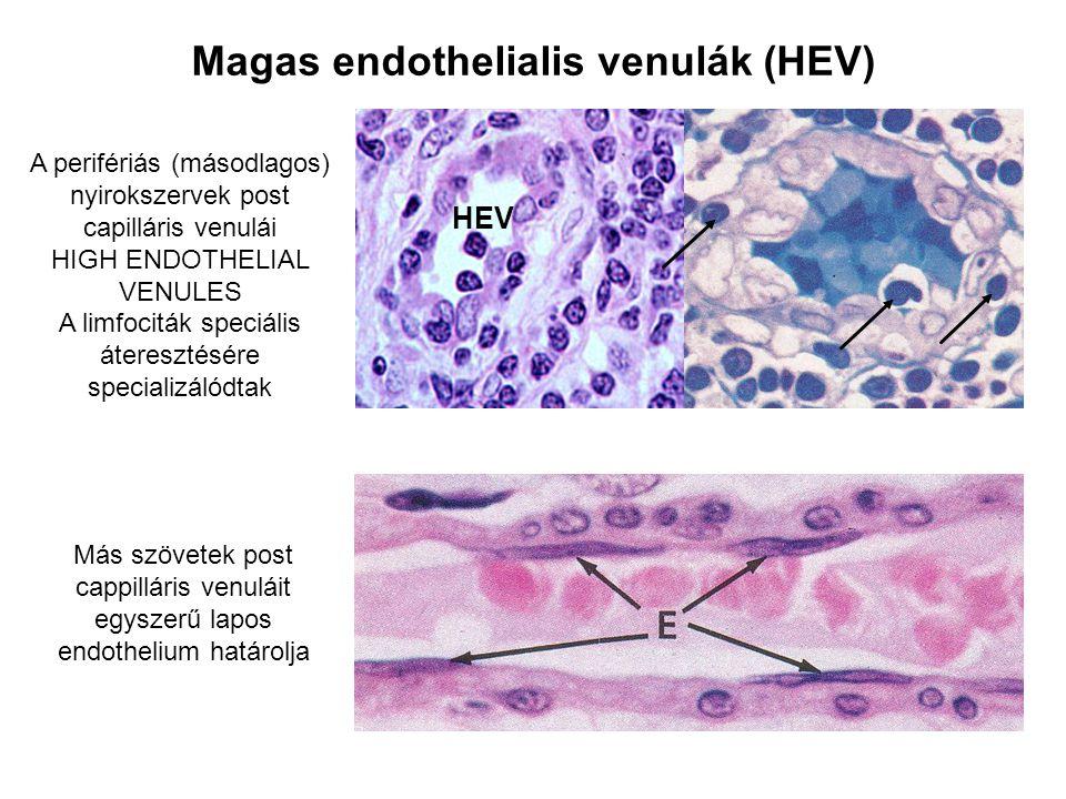 Az endotél sejtek szerepe a limfocita vándorlásban és recirkulációban Az endotél sejtek részt vesznek a: vasomotoros tónus, vascularis permeabilitás és a coaguláció szabályozásában, a limfociták extravasaciójában és az immunmodulációban High endothelial venules Konstitutívan vannak jelen a másodlagos limfoid szövetekben Szükségesek a naiv limfociták belépéséhez Post capilláris venulák nem limfoid szövetekben Az endotél sejtek által kifejezett molekulák szabályozzák a limfocita vándorlást és recirkulációt a limfoid és nem limfoid szövetek közt