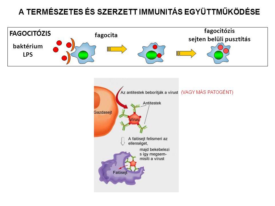 sejten belüli pusztítás FAGOCITÓZIS fagocita baktérium LPS A TERMÉSZETES ÉS SZERZETT IMMUNITÁS EGYÜTTMŰKÖDÉSE (VAGY MÁS PATOGÉNT)