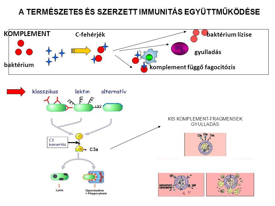 baktérium C-fehérjékbaktérium lízise gyulladás komplement függő fagocitózis KOMPLEMENT C3a KIS KOMPLEMENT-FRAGMENSEK GYULLADÁS A TERMÉSZETES ÉS SZERZE