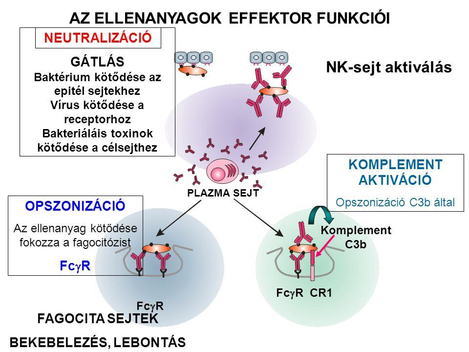 AZ ELLENANYAGOK EFFEKTOR FUNKCIÓI PLAZMA SEJT NEUTRALIZÁCIÓ GÁTLÁS Baktérium kötődése az epitél sejtekhez Vírus kötődése a receptorhoz Bakteriáláis toxinok kötődése a célsejthez OPSZONIZÁCIÓ Az ellenanyag kötődése fokozza a fagocitózist Fc  R Fc  R CR1 Komplement C3b KOMPLEMENT AKTIVÁCIÓ Opszonizáció C3b által FAGOCITA SEJTEK BEKEBELEZÉS, LEBONTÁS NK-sejt aktiválás
