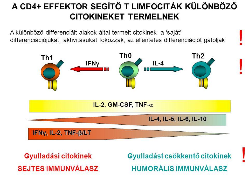 A CD4+ EFFEKTOR SEGÍTŐ T LIMFOCITÁK KÜLÖNBÖZŐ CITOKINEKET TERMELNEK Gyulladási citokinek SEJTES IMMUNVÁLASZ Gyulladást csökkentő citokinek HUMORÁLIS IMMUNVÁLASZ IFNγ, IL-2, TNF-β/LT Th1 IL-2, GM-CSF, TNF-  Th0 IL-4, IL-5, IL-6, IL-10 Th2 IL-4IFNγ .