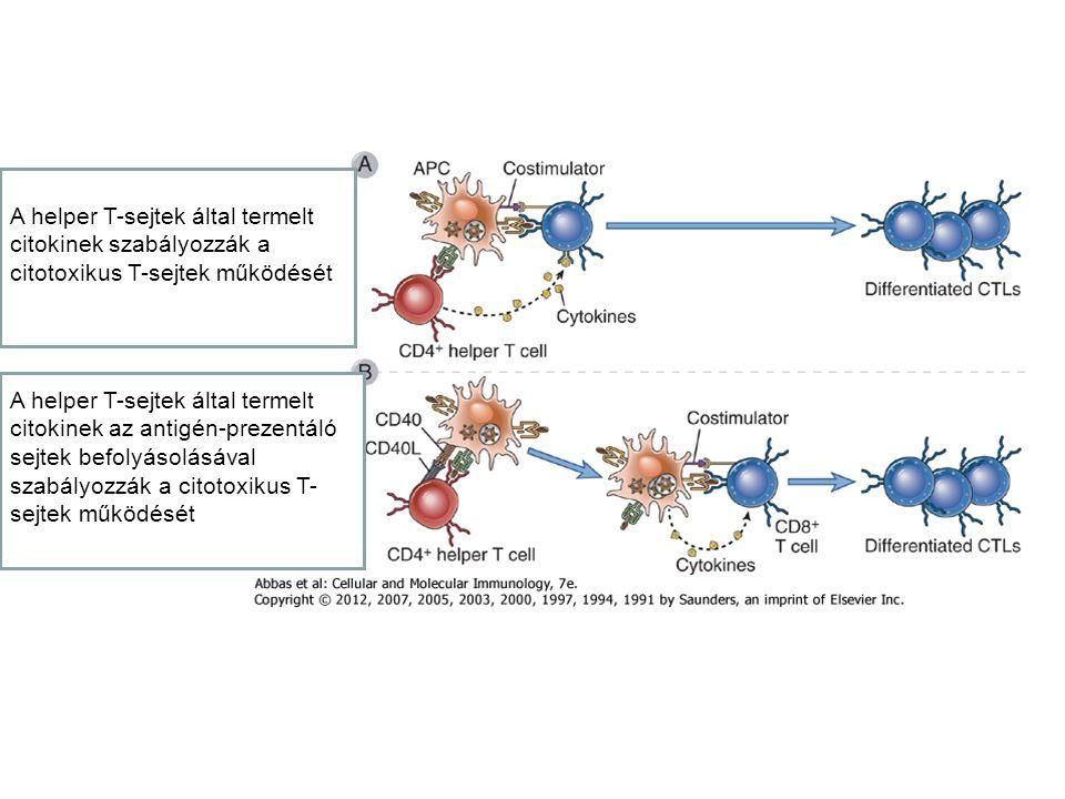 A helper T-sejtek által termelt citokinek szabályozzák a citotoxikus T-sejtek működését A helper T-sejtek által termelt citokinek az antigén-prezentáló sejtek befolyásolásával szabályozzák a citotoxikus T- sejtek működését
