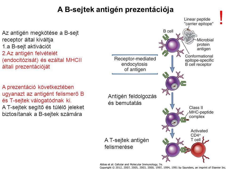 Az antigén megkötése a B-sejt receptor által kiváltja 1.a B-sejt aktivációt 2.Az antigén felvételét (endocitózisát) és ezáltal MHCII általi prezentációját A prezentáció következtében ugyanazt az antigént felismerő B és T-sejtek válogatódnak ki.