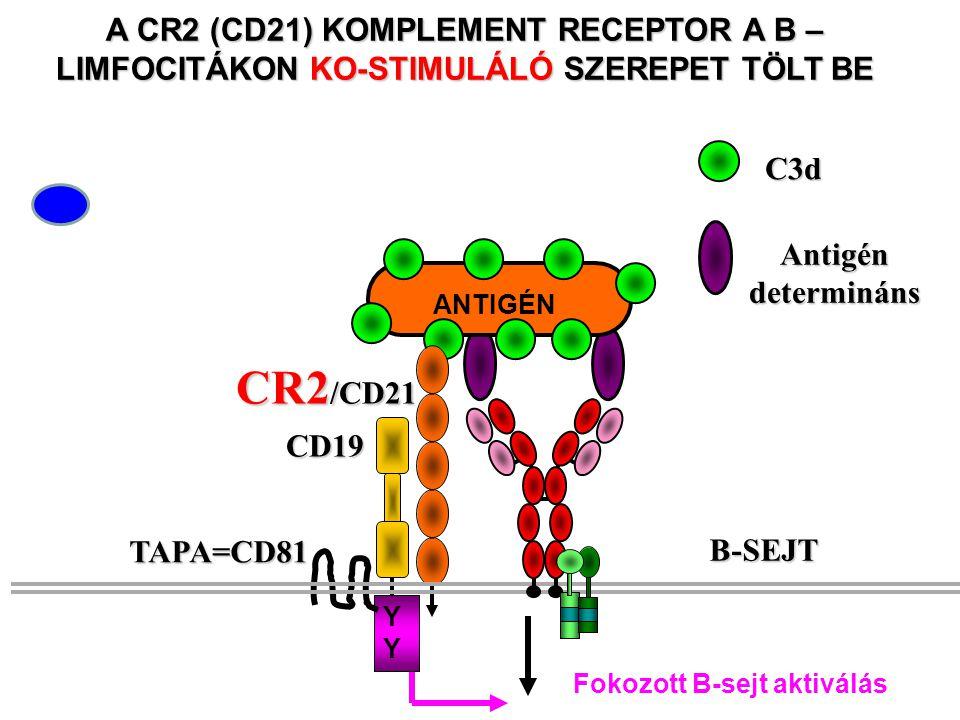 Antigén determináns C3d A CR2 (CD21) KOMPLEMENT RECEPTOR A B – LIMFOCITÁKON KO-STIMULÁLÓ SZEREPET TÖLT BE ANTIGÉN CR2 /CD21 CD19 YYYY TAPA=CD81 Fokozott B-sejt aktiválás B-SEJT