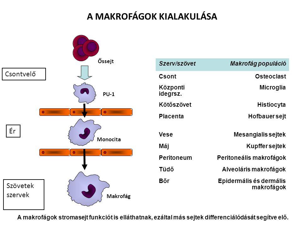 Ér Csontvelő Őssejt PU-1 Szerv/szövetMakrofág populáció CsontOsteoclast Központi idegrsz. Microglia KötőszövetHistiocyta PlacentaHofbauer sejt VeseMes