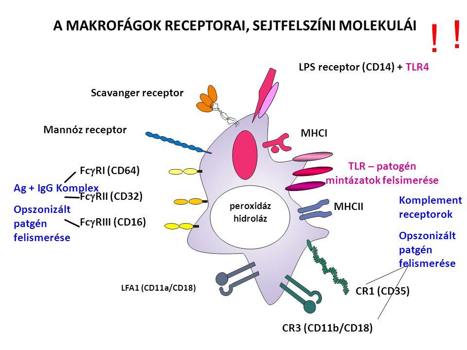 A MAKROFÁGOK RECEPTORAI, SEJTFELSZÍNI MOLEKULÁI LPS receptor (CD14) + TLR4 MHCI MHCII TLR – patogén mintázatok felsimerése CR1 (CD35) CR3 (CD11b/CD18) LFA1 (CD11a/CD18) Fc  RIII (CD16) Fc  RII (CD32) Fc  RI (CD64) Ag + IgG Komplex Opszonizált patgén felismerése Mannóz receptor Scavanger receptor peroxidáz hidroláz Komplement receptorok Opszonizált patgén felismerése .