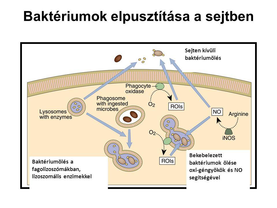 Baktériumok elpusztítása a sejtben Sejten kívüli baktériumölés Baktériumölés a fagolizoszómákban, lizoszomális enzimekkel Bekebelezett baktériumok ölése oxi-géngyökök és NO segítségével