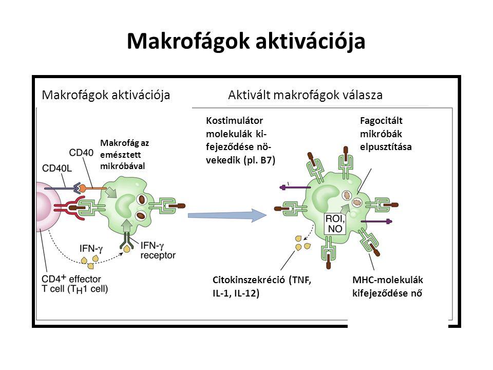 Makrofágok aktivációja Aktivált makrofágok válasza Makrofág az emésztett mikróbával Kostimulátor molekulák ki- fejeződése nö- vekedik (pl.