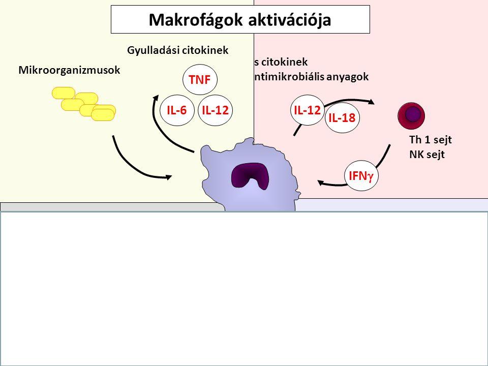 IFN  IL-12 IL-18 Th 1 sejt NK sejt Gyulladásos citokinek Antimikrobiális anyagok Alternatív aktiváció: Mannóz receptor – endocitózis Th2 kemokinek NO