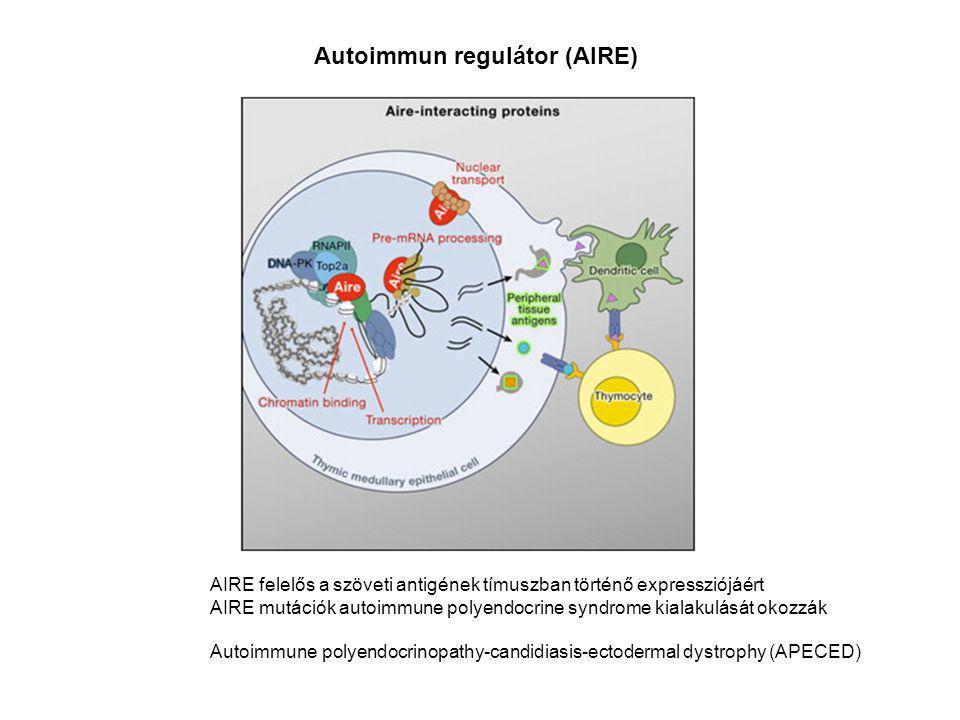 Autoimmun regulátor (AIRE) AIRE felelős a szöveti antigének tímuszban történő expressziójáért AIRE mutációk autoimmune polyendocrine syndrome kialakul