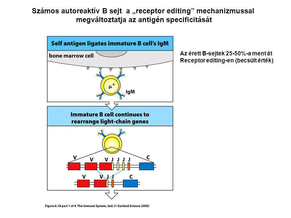 """Számos autoreaktív B sejt a """"receptor editing mechanizmussal megváltoztatja az antigén specificitását Az érett B-sejtek 25-50%-a ment át Receptor editing-en (becsült érték)"""