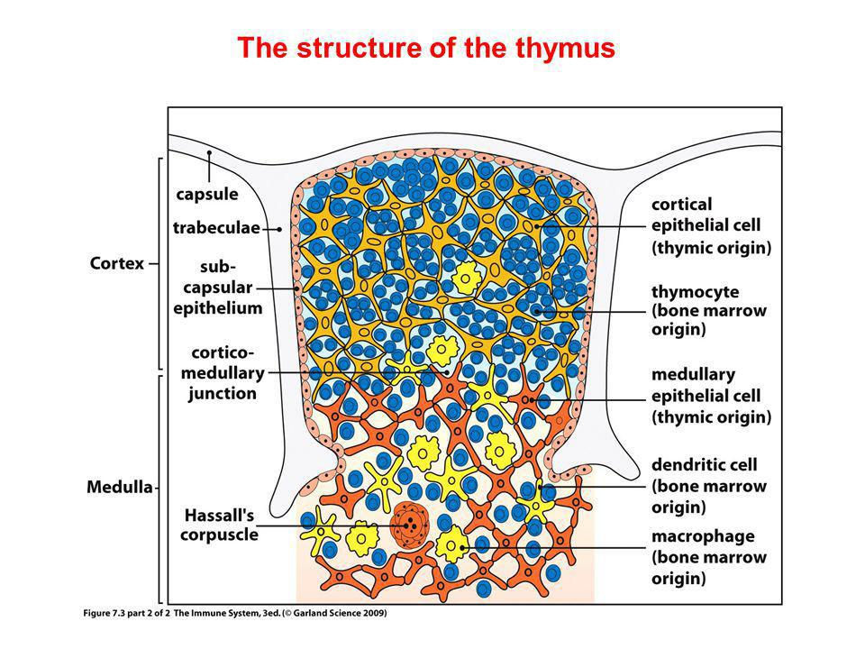 Only a small fraction of T cells mature into functional T cells Positive selection: Occurs in the cortex, requires thymic epithelial cells (MHCI/MHCII positive) -Az αβ double-positive Thymocytes must recognize self- MHC.