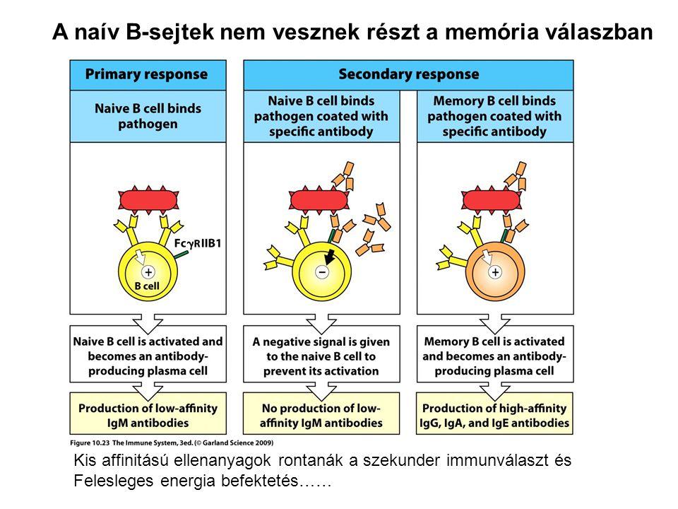 A naív B-sejtek nem vesznek részt a memória válaszban Kis affinitású ellenanyagok rontanák a szekunder immunválaszt és Felesleges energia befektetés……