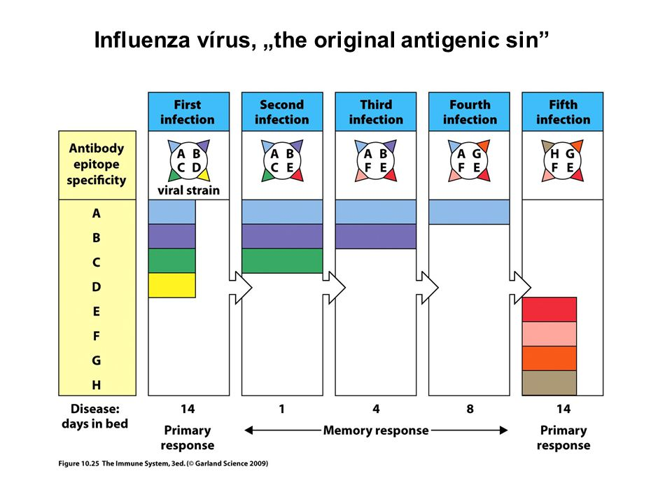"Influenza vírus, ""the original antigenic sin"""