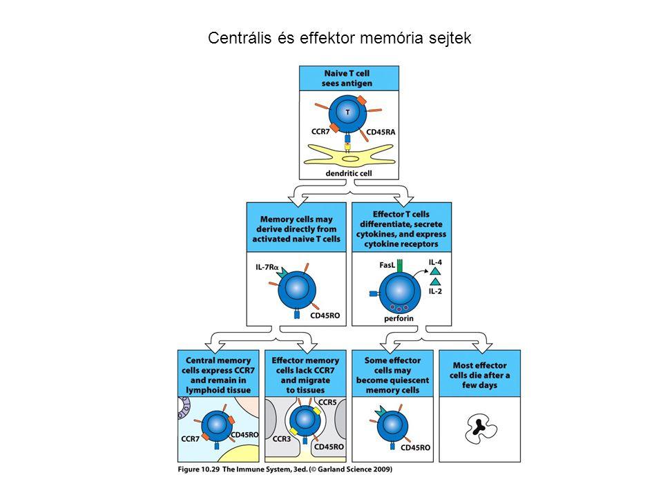 Centrális és effektor memória sejtek