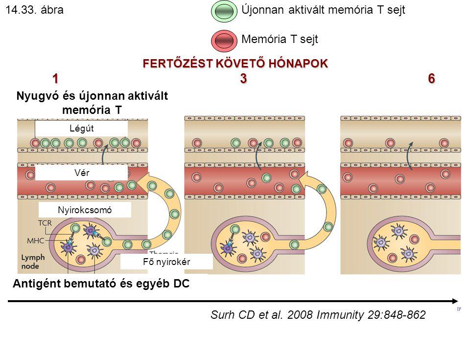 FERTŐZÉST KÖVETŐ HÓNAPOK 136 Nyugvó és újonnan aktivált memória T Antigént bemutató és egyéb DC Légút Vér Nyirokcsomó Fő nyirokér Újonnan aktivált memória T sejt Memória T sejt Surh CD et al.
