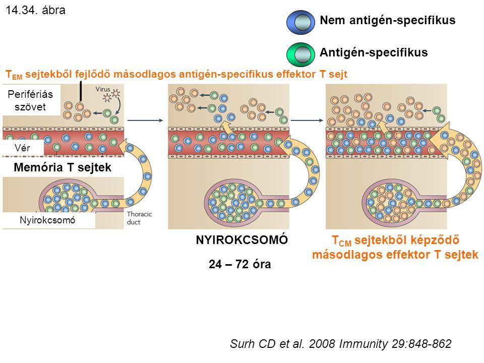 T EM sejtekből fejlődő másodlagos antigén-specifikus effektor T sejt Perifériás szövet NYIROKCSOMÓ Memória T sejtek Antigén-specifikus Nem antigén-specifikus 24 – 72 óra T CM sejtekből képződő másodlagos effektor T sejtek Vér Nyirokcsomó 14.34.