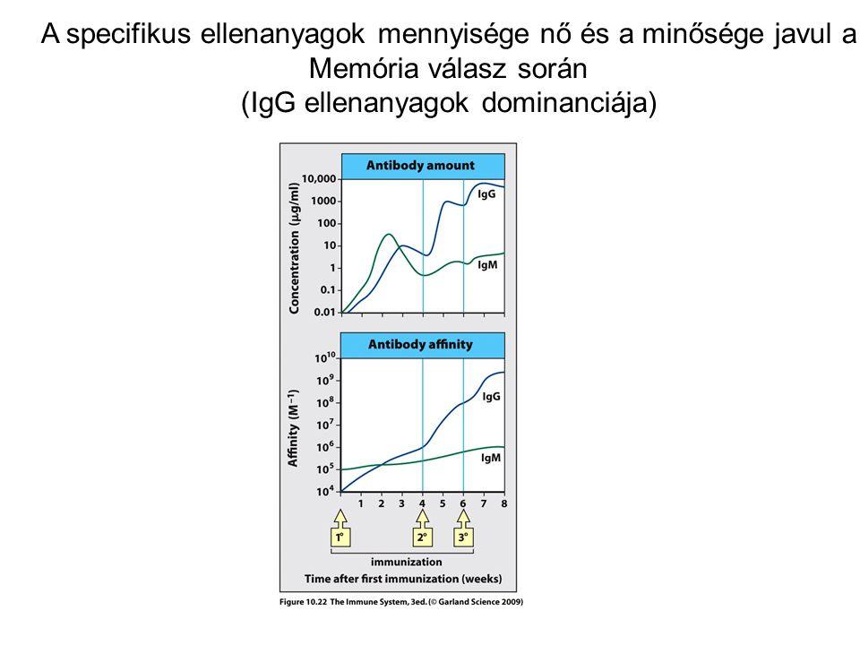 A specifikus ellenanyagok mennyisége nő és a minősége javul a Memória válasz során (IgG ellenanyagok dominanciája)