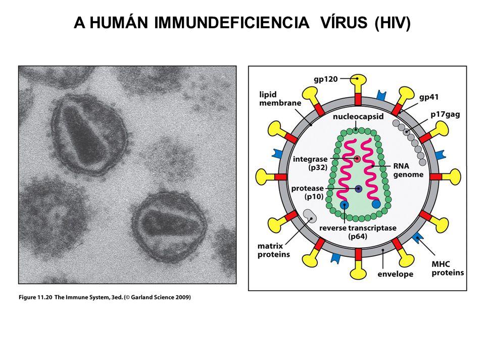 A HIV FERTŐZÉS LEFUTÁSA HIV burokfehérjék ellen termelődő ellenanyagok HIV-specifikus citotoxikus T sejtek HIV p24 ellenanyagok Fertőző vírus a vérben 4 – 8 hét2 – 12 év2 – 3 év0 – 1 év