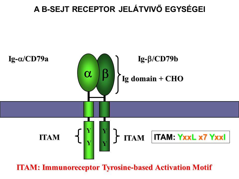 Ig-  /CD79a Ig-  /CD79b ITAM: Immunoreceptor Tyrosine-based Activation Motif   Y Y Y Y ITAM ITAM Ig domain + CHO A B-SEJT RECEPTOR JELÁTVIVŐ EGYSÉGEI ITAM: YxxL x7 YxxI