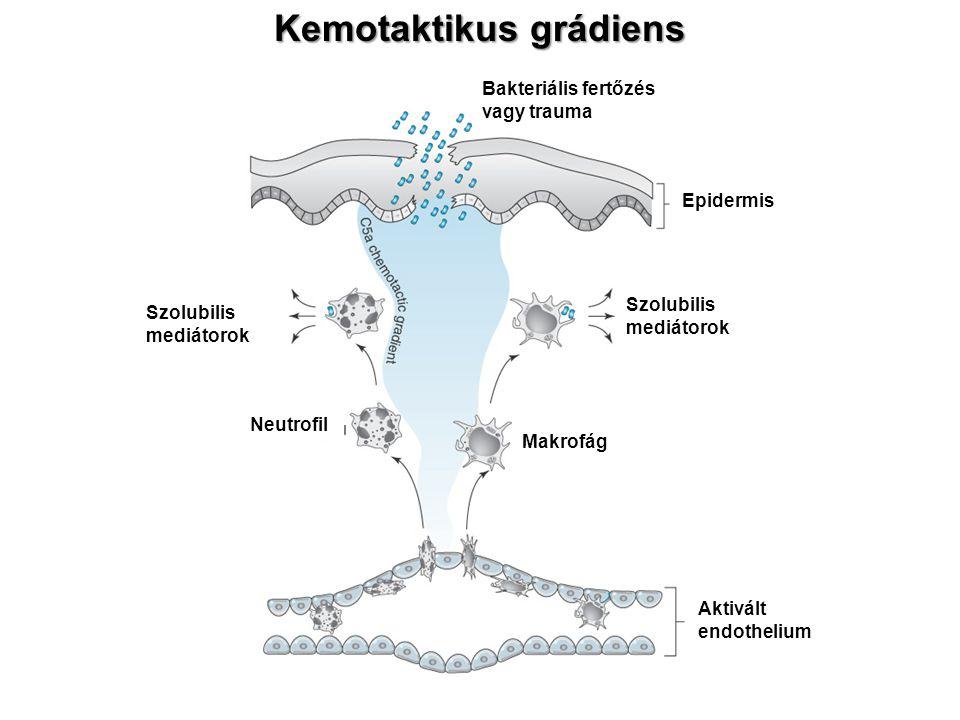 Kemotaktikus grádiens Makrofág Neutrofil Aktivált endothelium Szolubilis mediátorok Bakteriális fertőzés vagy trauma Epidermis
