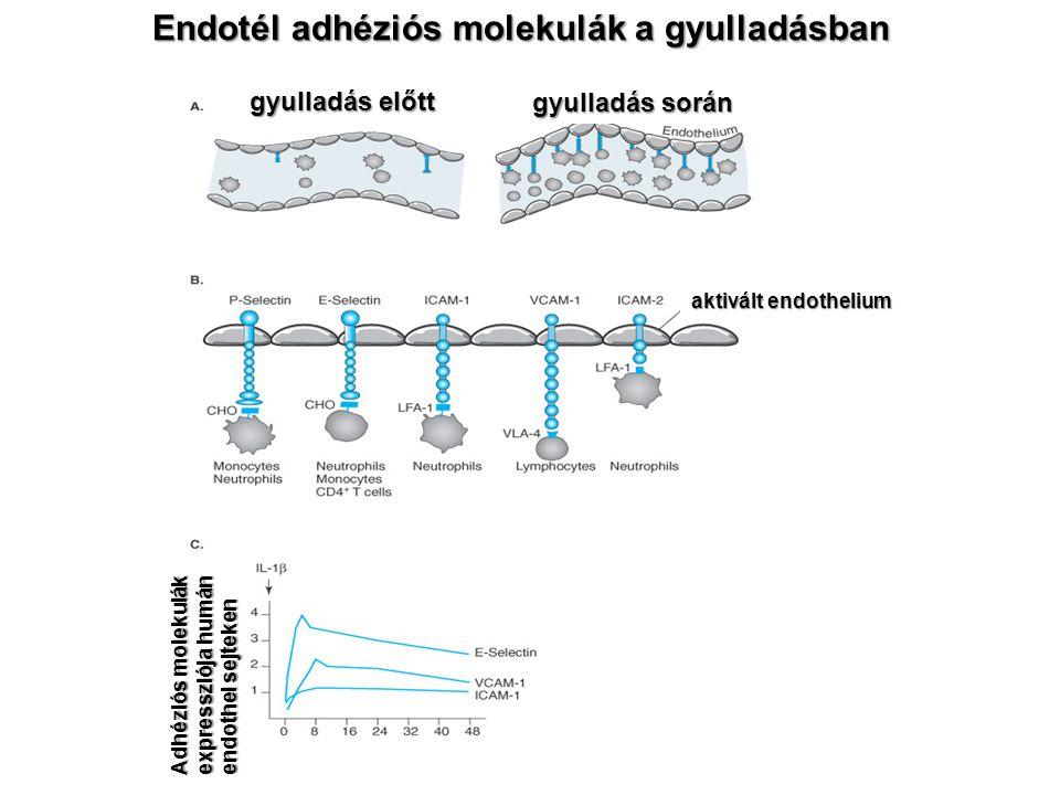 Endotél adhéziós molekulák a gyulladásban gyulladás előtt gyulladás során aktivált endothelium Adhéziós molekulák expressziója humán endothel sejteken