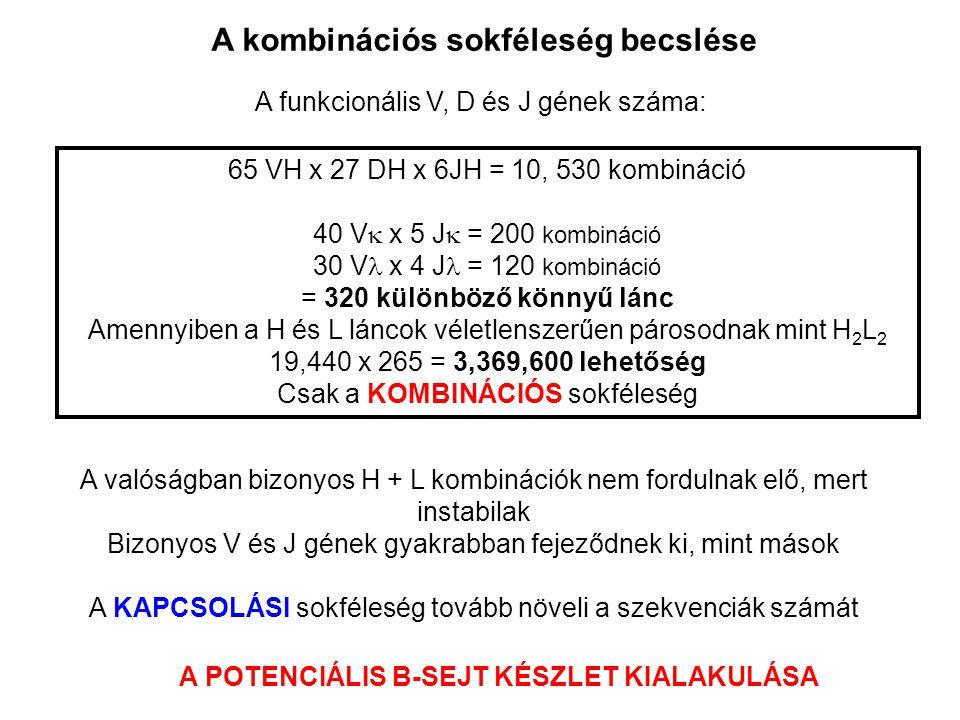 A kombinációs sokféleség becslése A funkcionális V, D és J gének száma: 65 VH x 27 DH x 6JH = 10, 530 kombináció 40 V  x 5 J  = 200 kombináció 30 V