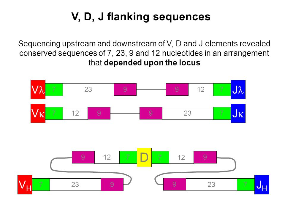 V, D, J flanking sequences V 723 9 Sequencing upstream and downstream of V, D and J elements revealed conserved sequences of 7, 23, 9 and 12 nucleotides in an arrangement that depended upon the locus VV 712 9 JJ 723 9 J 712 9 D 7 9 7 9 VHVH 723 9 JHJH 7 9