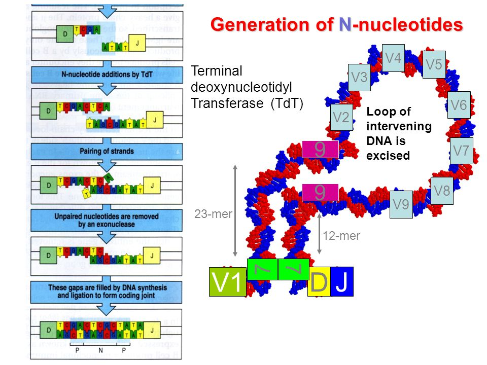 23-mer 12-mer Loop of intervening DNA is excised V1 DJ V2 V3 V4 V8 V7 V6 V5 V9 7 9 9 7 Terminal deoxynucleotidyl Transferase (TdT) Generation of N-nucleotides