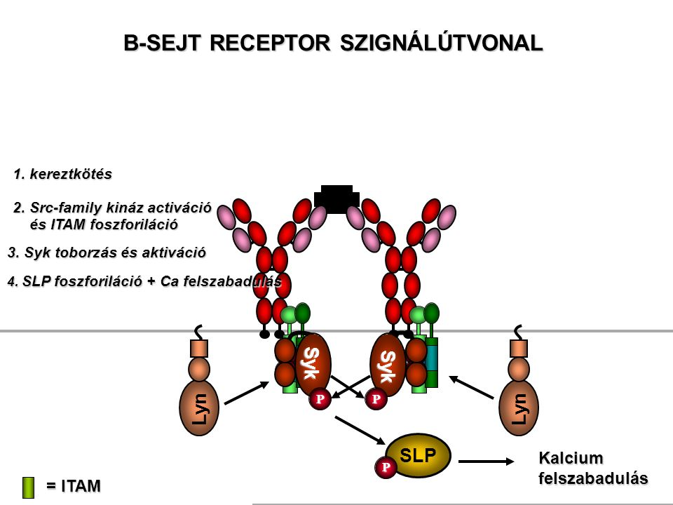 Ag B-SEJT RECEPTOR SZIGNÁLÚTVONAL = ITAM 1. kereztkötés Lyn 2. Src-family kináz activáció 4. SLP foszforiláció + Ca felszabadulás SLP P Kalcium felsza
