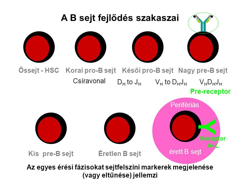 Perifériás A B sejt fejlődés szakaszai Őssejt - HSCKorai pro-B sejtKésői pro-B sejt Kis pre-B sejtÉretlen B sejtérett B sejt Az egyes érési fázisokat