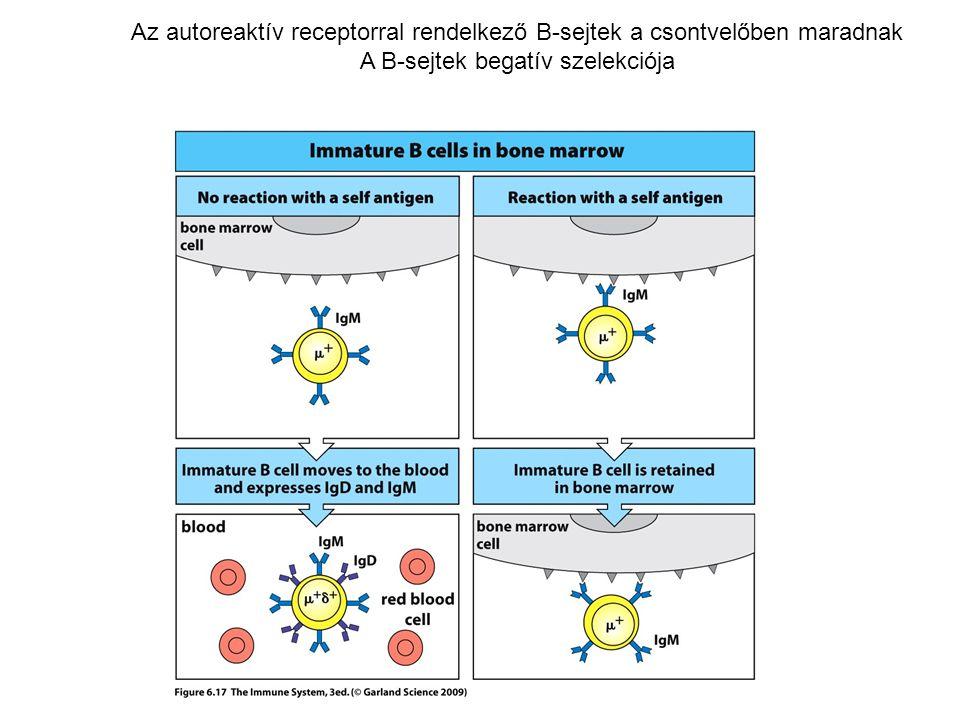 Az autoreaktív receptorral rendelkező B-sejtek a csontvelőben maradnak A B-sejtek begatív szelekciója