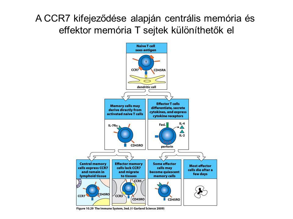 A CCR7 kifejeződése alapján centrális memória és effektor memória T sejtek különíthetők el