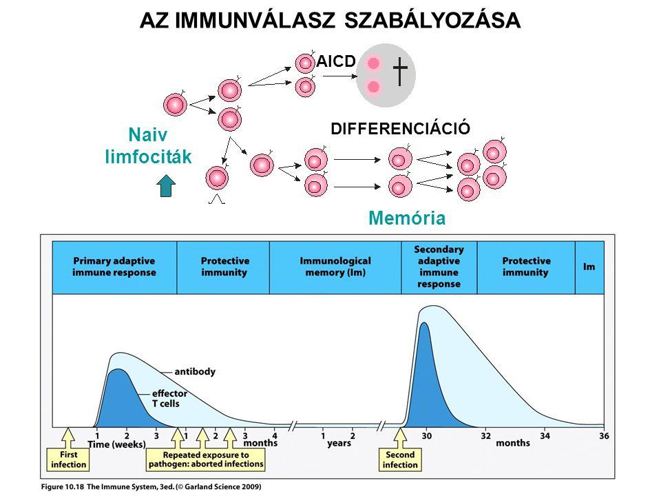 AZ IMMUNVÁLASZ SZABÁLYOZÁSA Naiv limfociták Memória DIFFERENCIÁCIÓ AICD