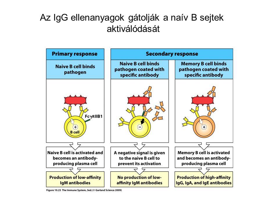 Az IgG ellenanyagok gátolják a naív B sejtek aktiválódását