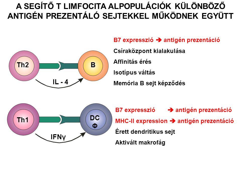 Th1 DC Φ IFNγ Th2B IL - 4 B7 expresszió  antigén prezentáció Csíraközpont kialakulása Affinitás érés Isotípus váltás Memória B sejt képződés B7 expre