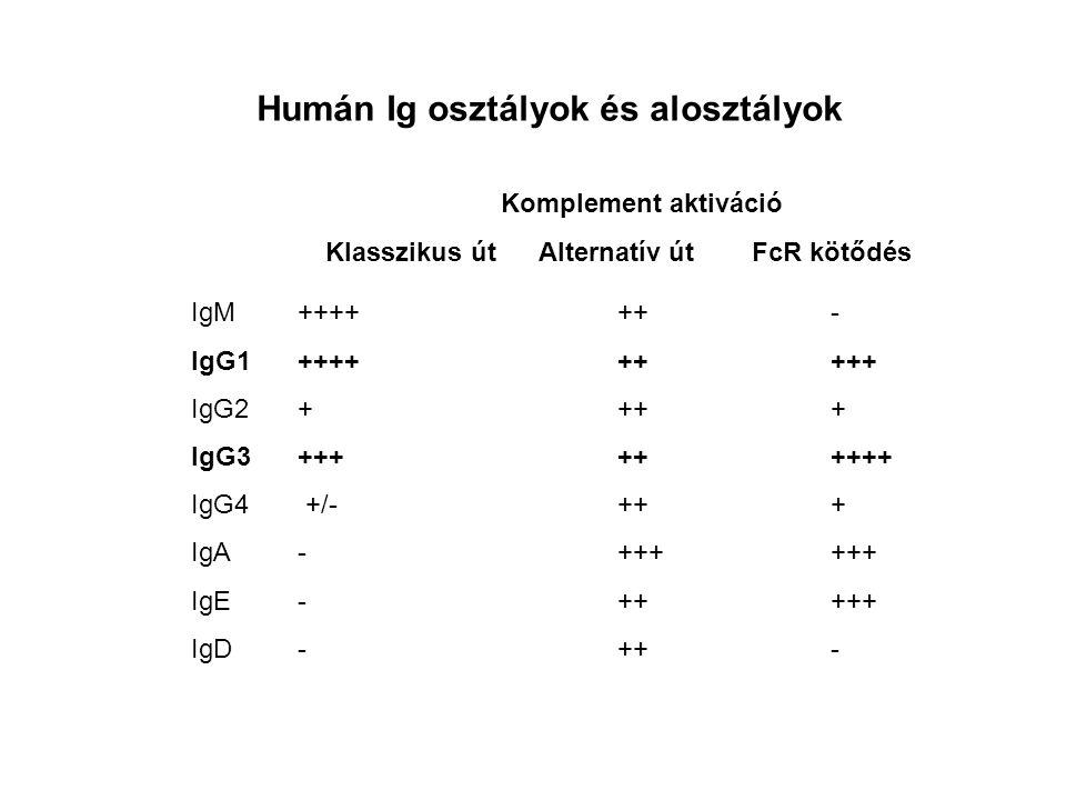 Humán Ig osztályok és alosztályok IgM++++++- IgG1+++++++++ IgG2++++ IgG3+++++++++ IgG4 +/-+++ IgA-++++++ IgE-+++++ IgD-++- Komplement aktiváció Klasszikus útAlternatív útFcR kötődés