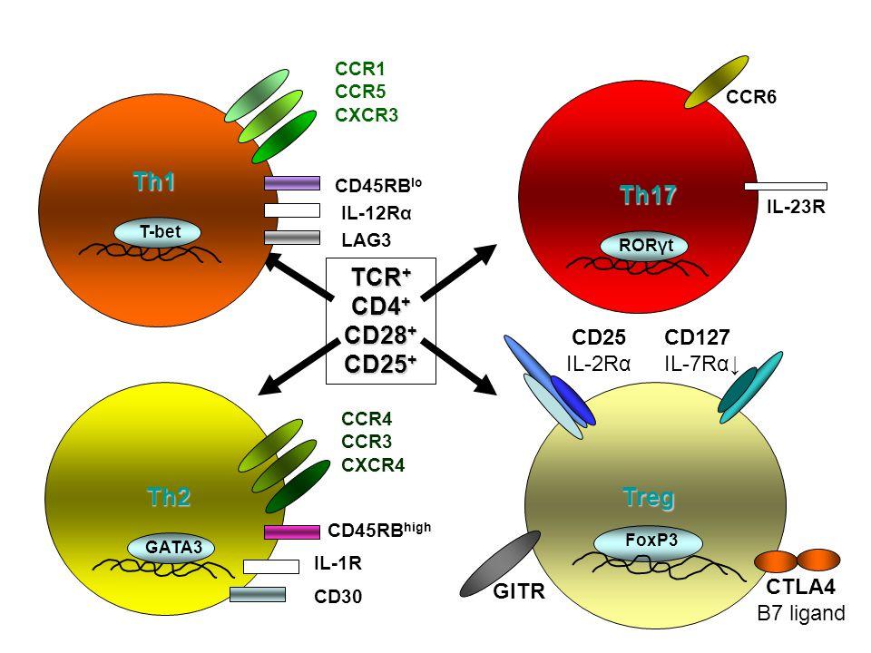 TCR + CD4 + CD28 + CD25 + Th1 T-bet CCR1 CCR5 CXCR3 CD45RB lo IL-12Rα LAG3 Th2 GATA3 CCR4 CCR3 CXCR4 CD45RB high IL-1R CD30 Th17 RORγt IL-23R CCR6 CD1