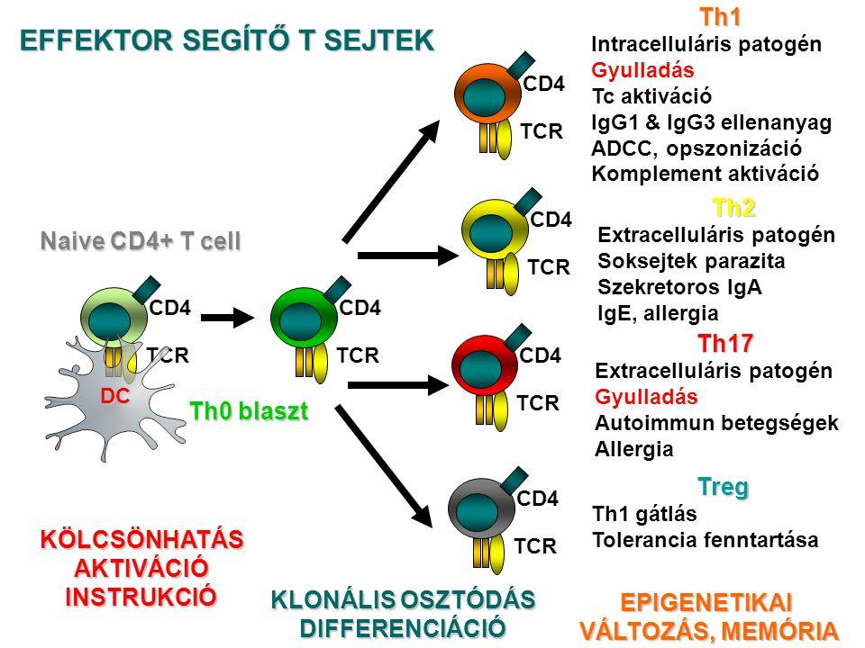 TCR CD4 Naive CD4+ T cell Th0 blaszt TCR CD4 TCRTh1 Intracelluláris patogén Gyulladás Tc aktiváció IgG1 & IgG3 ellenanyag ADCC, opszonizáció Komplement aktiváció TCR CD4 Th2 Extracelluláris patogén Soksejtek parazita Szekretoros IgA IgE, allergia TCR CD4 Treg Th1 gátlás Tolerancia fenntartása KLONÁLIS OSZTÓDÁS DIFFERENCIÁCIÓEPIGENETIKAI VÁLTOZÁS, MEMÓRIA VÁLTOZÁS, MEMÓRIA KÖLCSÖNHATÁSAKTIVÁCIÓINSTRUKCIÓ Th17 Extracelluláris patogén Gyulladás Autoimmun betegségek Allergia TCR CD4 EFFEKTOR SEGÍTŐ T SEJTEK DC