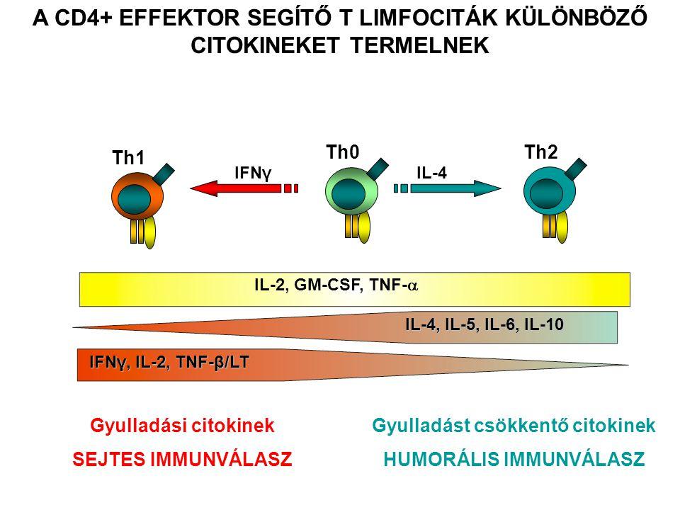 A CD4+ EFFEKTOR SEGÍTŐ T LIMFOCITÁK KÜLÖNBÖZŐ CITOKINEKET TERMELNEK Gyulladási citokinek SEJTES IMMUNVÁLASZ Gyulladást csökkentő citokinek HUMORÁLIS IMMUNVÁLASZ IFNγ, IL-2, TNF-β/LT Th1 IL-2, GM-CSF, TNF-  Th0 IL-4, IL-5, IL-6, IL-10 Th2 IL-4IFNγ