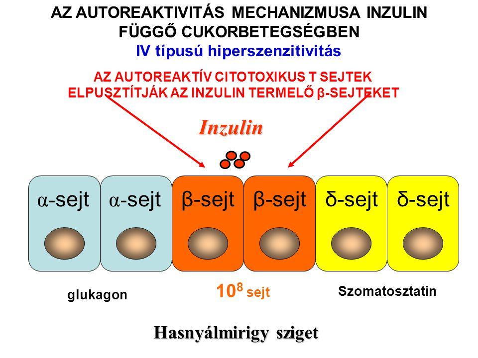 Inzulin β-sejtδ-sejt α- sejt β-sejtδ-sejt Hasnyálmirigy sziget AZ AUTOREAKTIVITÁS MECHANIZMUSA INZULIN FÜGGŐ CUKORBETEGSÉGBEN IV típusú hiperszenzitiv