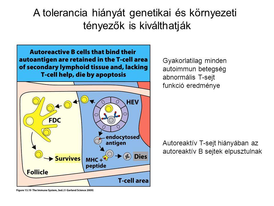 A tolerancia hiányát genetikai és környezeti tényezők is kiválthatják Gyakorlatilag minden autoimmun betegség abnormális T-sejt funkció eredménye Auto