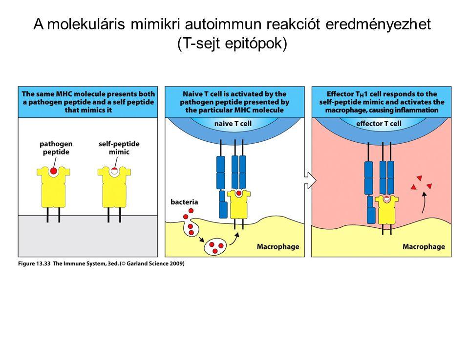 A molekuláris mimikri autoimmun reakciót eredményezhet (T-sejt epitópok)