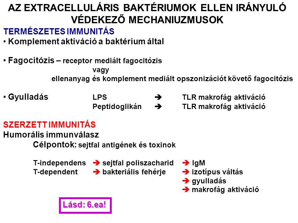 AZ EXTRACELLULÁRIS BAKTÉRIUMOK ELLEN IRÁNYULÓ VÉDEKEZŐ MECHANIUZMUSOK TERMÉSZETES IMMUNITÁS Komplement aktiváció a baktérium által Fagocitózis – recep