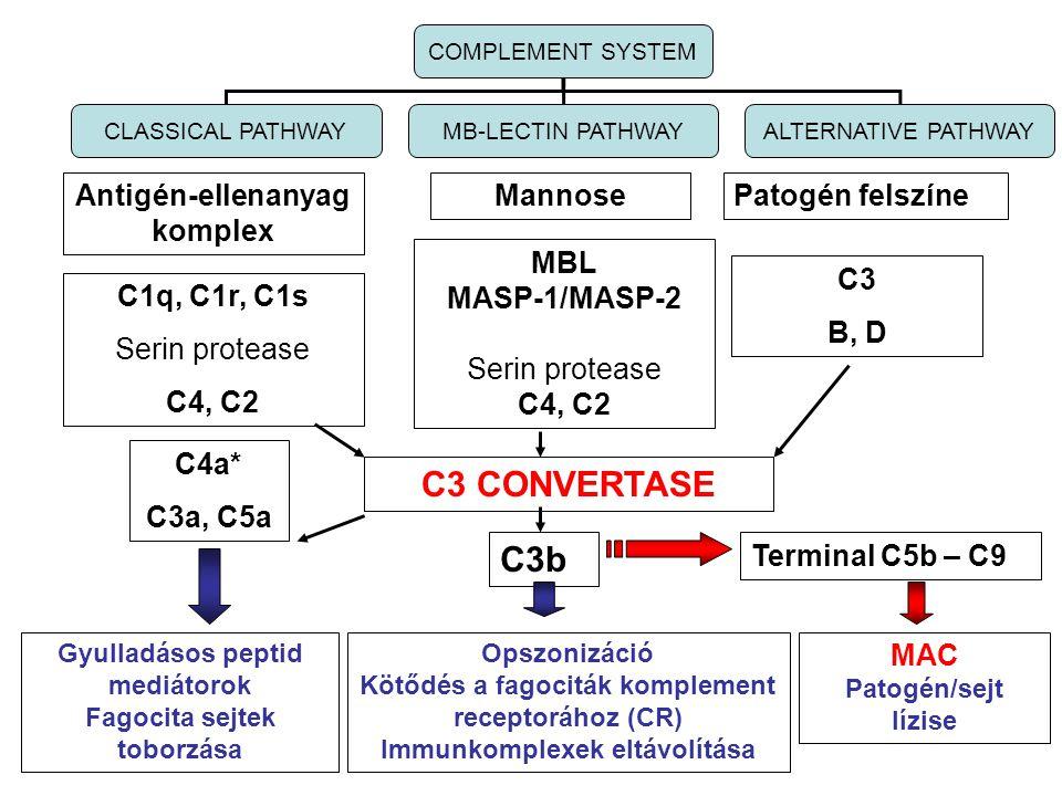 Antigén-ellenanyag komplex MannosePatogén felszíne C1q, C1r, C1s Serin protease C4, C2 MBL MASP-1/MASP-2 Serin protease C4, C2 C3 B, D COMPLEMENT SYST